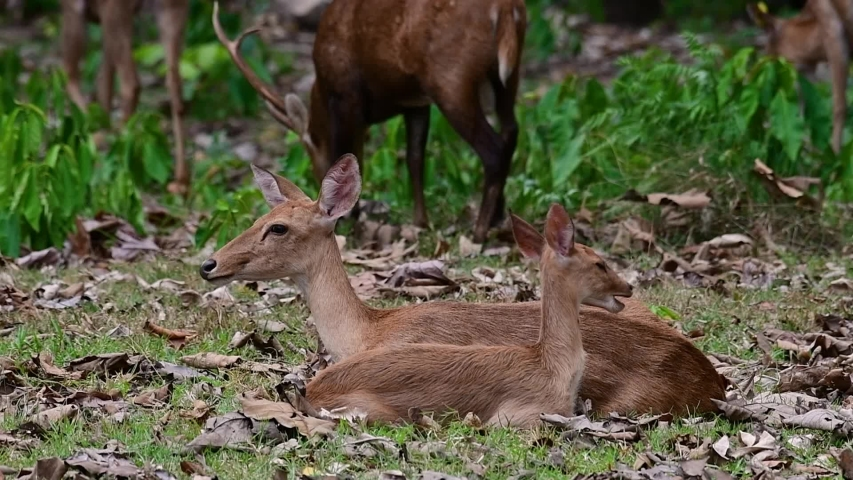 The Eld's Deer is an Endangered species due to habitat loss and hunting;  | Shutterstock HD Video #1033275188