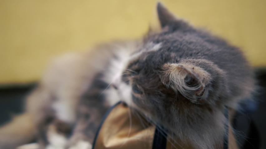 Lovable grey and white kitty sleeping and lying on a blue bag indoors in slo-mo | Shutterstock HD Video #1033288868