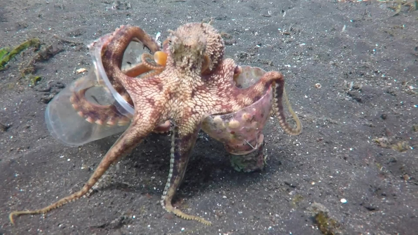 A Coconut Octopus walks on the ocean floor with the discarded plastic cup and bottle it has collected for it's home. | Shutterstock HD Video #1033617218