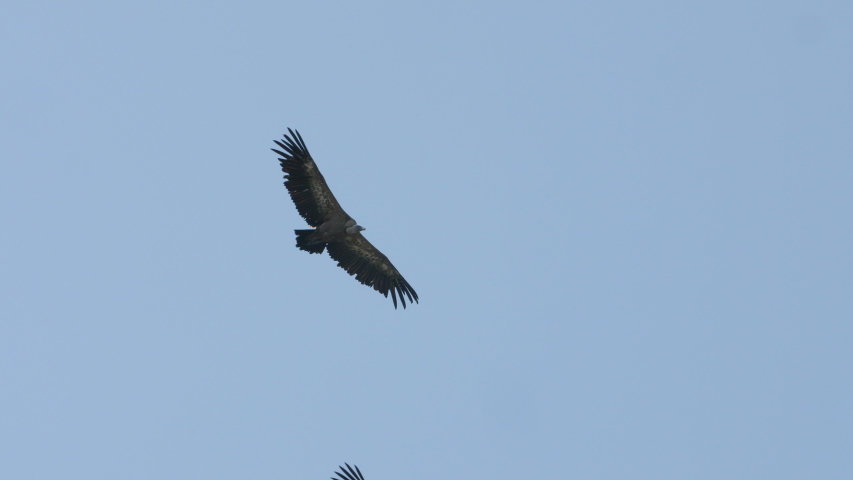Two griffon vultures gyps fulvus flying side by side over the gorges du Tarn France blue sky  #1033780718