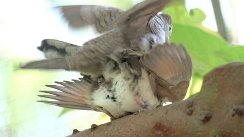 Couple Zebra Dove copulating on a branch in a garden with green leaves.