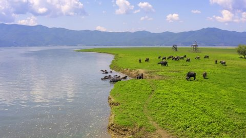 buffaloes graze on the banks of the river. Aerial. Buffalos eat grass by the river. Mountain landscape. Kerkini Lake. Greece