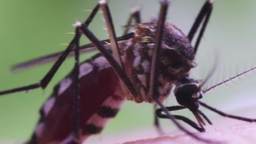 Aedes aegypti Mosquito. Super macro close up a Mosquito sucking human blood, | Shutterstock HD Video #1034472248