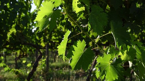 beautiful green vine leaves move in the wind in a vineyard in Chianti region in Tuscany during summer season. Italy. Static Camera, 4K Ultra HD Video.