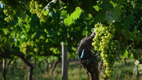 Bunches of white grapes in a Chianti vineyard on a sunny day moves in the wind in the countryside near Florence in the summer. Tuscany, Italy. 4K UHD Video.