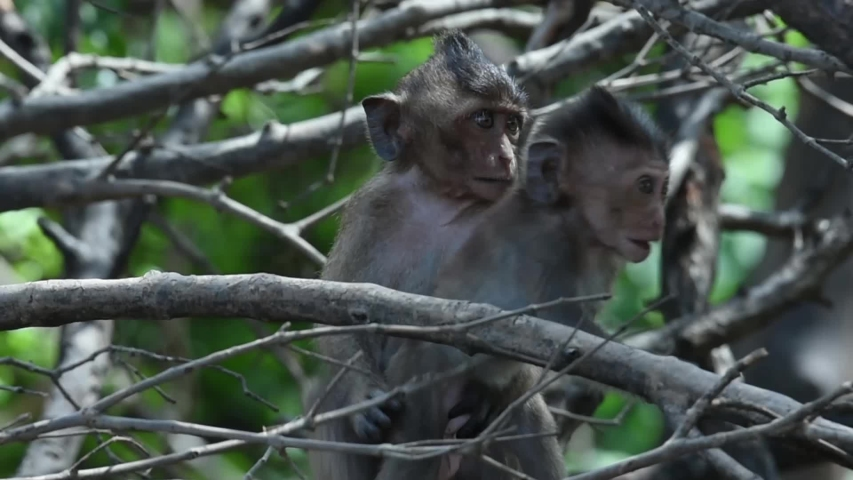 A group of young monkeys are playing. at Laem Phak Bia, Gulf of Thailand, Phetchaburi, Thailand.  | Shutterstock HD Video #1034576468