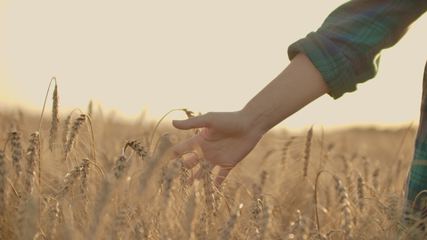 Young woman farmer in wheat field on sunset background. A girl plucks wheat spikes, then uses a tablet. The farmer is preparing to harvest. #1035077378
