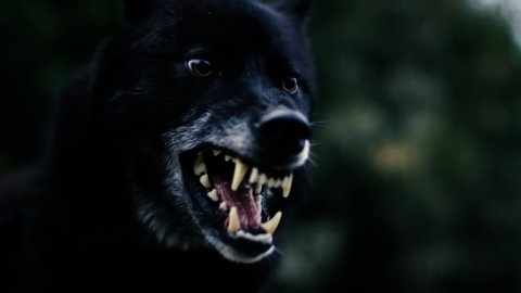 Black Wolve running through forest gnashing teeth shot in Slow Motion on RED Scarlet-W