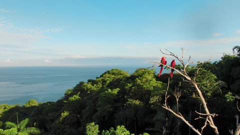 Drone Footage Flying Past Two Scarlet Macaws Perched on a Dried Up Tree in the Wild Surrounded by Tropical Trees and Pacific Ocean in Background Near Manuel Antonio, Costa Rica