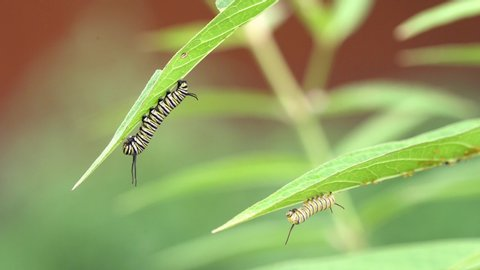 2 Monarch caterpillars on milkweed plant eating milk weed during the day
