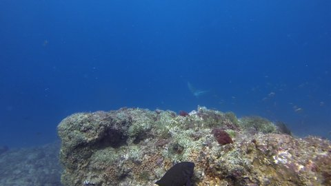 White Spotted Eagle Ray Swimming & Flying Over Rocky Coral Reef In Deep Blue Sea Water At Stradbroke Island Queensland Australia. Underwater Wide Angle Of Australian Stingray Or Sea Ray Marine Life