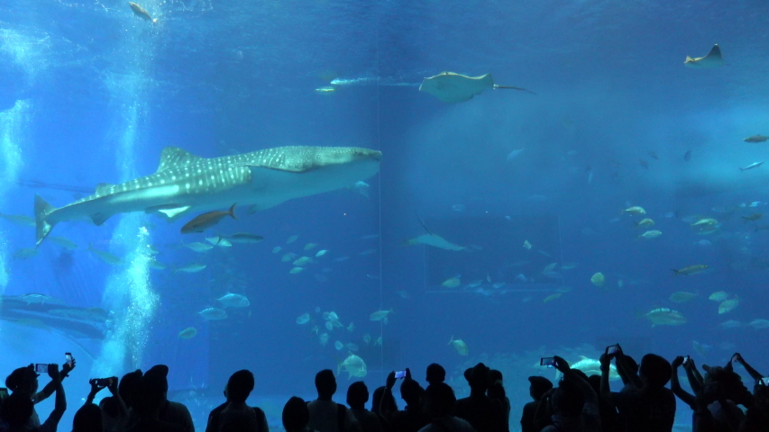 Okinawa Aquarium 4K with 2 Big Whale sharks and various kinds of fish swimming in the tank. At Okinawa Churaumi Aquarium, Japan-July 6, 2019. | Shutterstock HD Video #1036046978