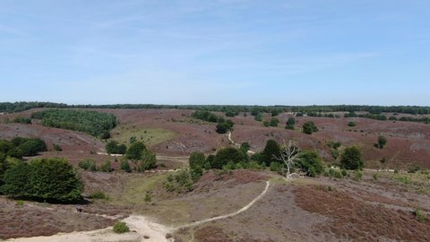 Descending 4k aerial video of blossoming purple heath and dead white tree in national park the Veluwe