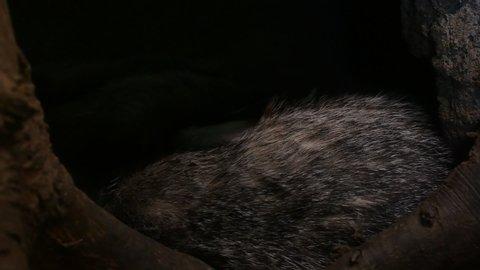 European badger (Meles meles) leaving den / sett / burrow with sleeping badgers in forest
