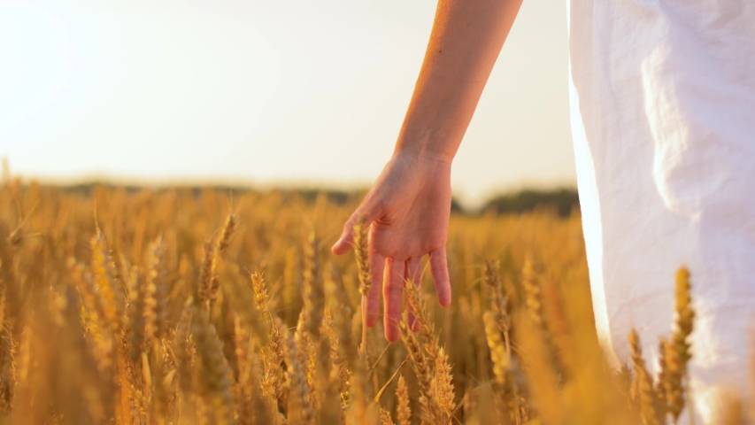 Harvesting, nature, agriculture and prosperity concept - young woman in white dress walking along cereal field and touching ripe wheat spickelets by her hand | Shutterstock HD Video #1036788038