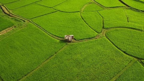 Aerial view of agriculture in rice fields for cultivation in Nan, Thailand