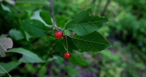 Amos, Québec/Canada 08-24-2019: Wild fruits;  sweet wild cherries or gean (Prunus avium) are appreciated by birds.