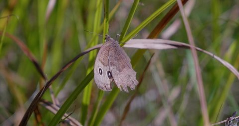 Amos, Québec/Canada- August-24-2019: a brown butterfly posing.