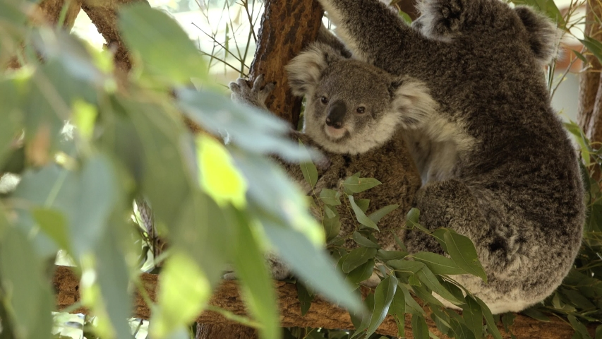 Cute Australian mother Koala with her joey in a tree resting during the day. | Shutterstock HD Video #1037172878
