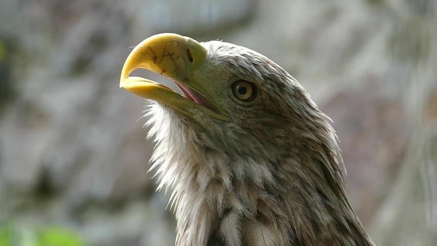 Reaction eagle against a dark background pattern. Wild bird slow motion | Shutterstock HD Video #1037202098