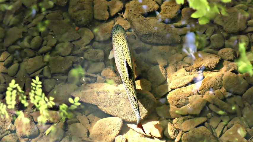 American Rainbow Trout – River Fish, Europe | Shutterstock HD Video #1037273378