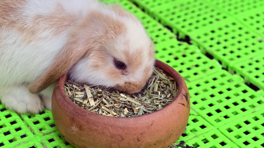 4K CLOSE UP: Cute fluffy light brown baby bunny eating food. | Shutterstock HD Video #1037333918