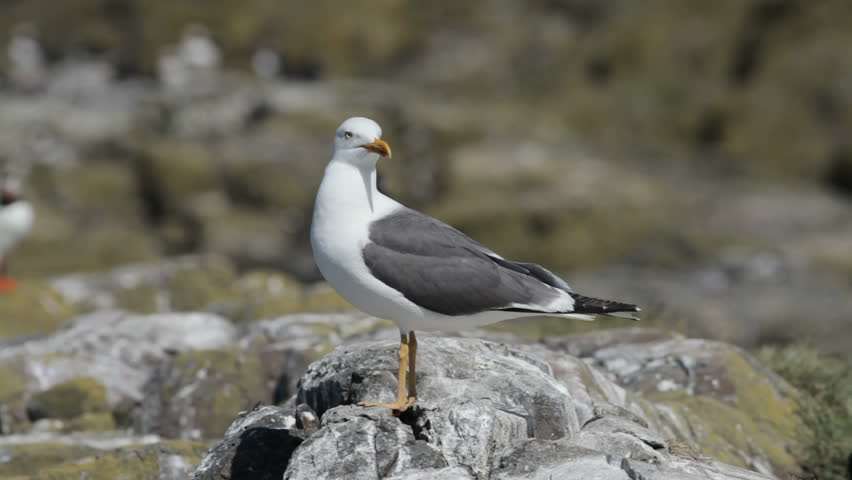 Lesser Black Backed Gull watching for Puffins to harass for food - Farne Islands, Northumberland, England