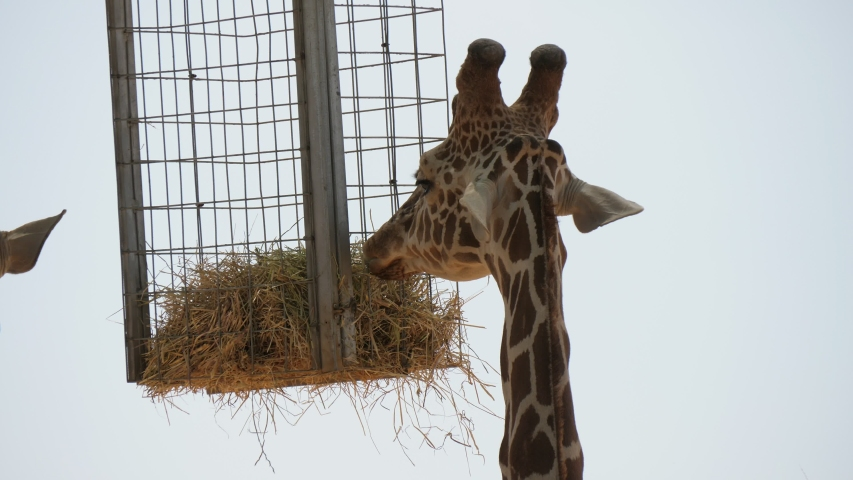 Gorgeous closeup of a young spotted giraffe with long neck standing under a sunshade with a feeding hay trough hanging under it in a zoo on a sunny day in summer. | Shutterstock HD Video #1038612638
