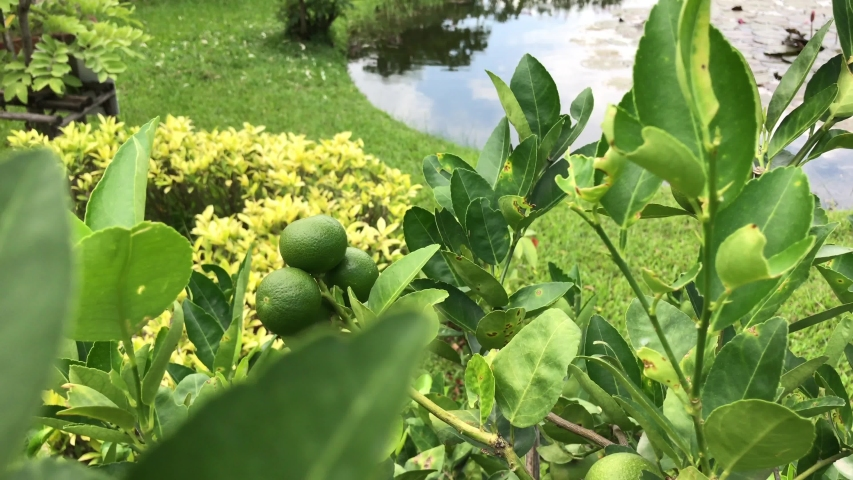 Lime fruit (citrus, lemon) on the tree 4k footage | Shutterstock HD Video #1038873128