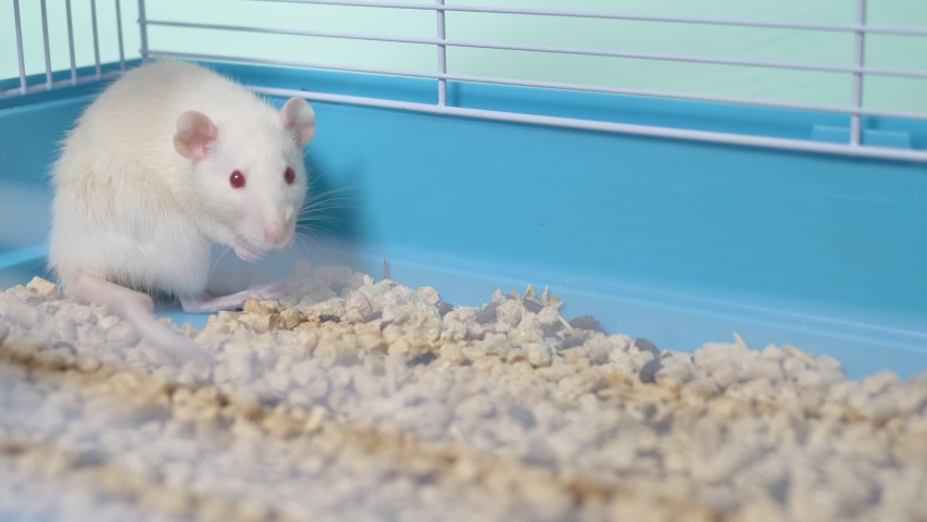 White rat in a cage. home pet. animal symbol of the year on the Chinese calendar. | Shutterstock HD Video #1039107158