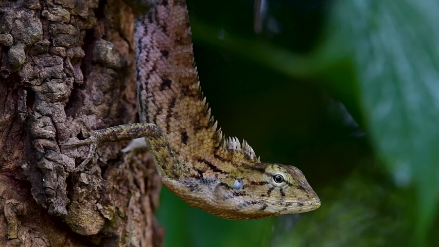 The Oriental Garden Lizard is also called the Eastern Garden Lizard, Bloodsucker and Changeable Lizard; it has the ability to change its colours according to its lifecycle and can be commonly found. | Shutterstock HD Video #1039272638