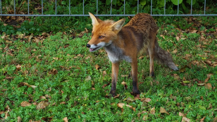 Wild animal red fox (Vulpes feeding in a field and eats obtained bread | Shutterstock HD Video #1039278068