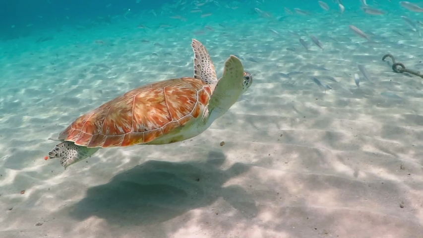 Swimming green sea turtle (Chelonia mydas), white sand and shallow tropical sea. Swimming with ocean wildlife. Underwater video from scuba diving with turtles. Marine animal footage from snorkeling.    Shutterstock HD Video #1039663658