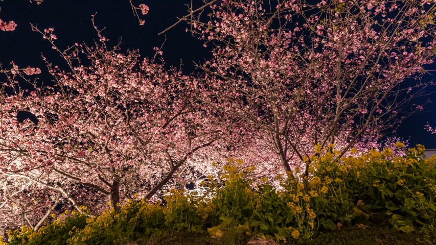 Timelapse of Kawazu cherry blossoms at night in Japan | Shutterstock HD Video #1040638568