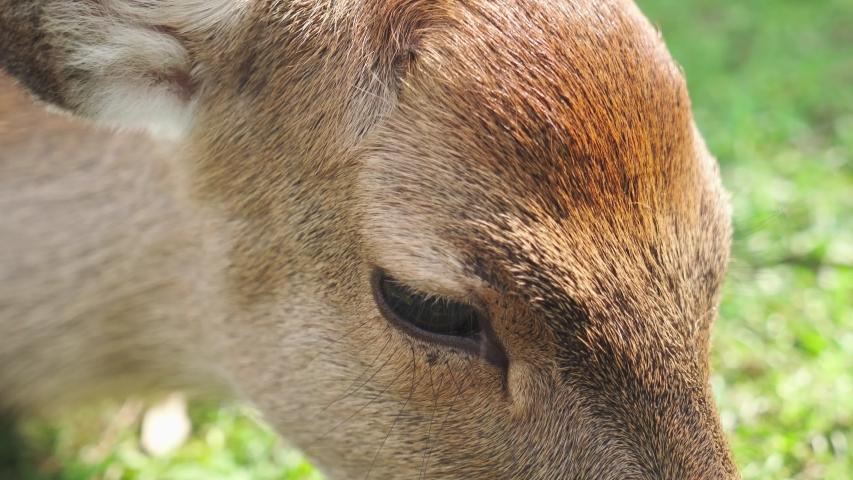 Extreme close of a female deer eyes. Nara, Japan.   Shutterstock HD Video #1041201418
