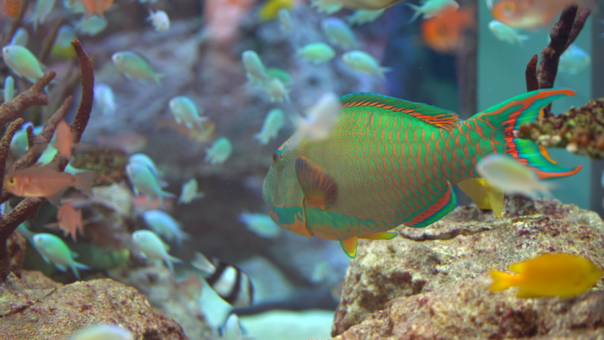 Bright multi-colored tropical fish on a coral reef of the Pacific Ocean. underwater life of a coral reef. aquarium with rare tropical fish | Shutterstock HD Video #1041449548