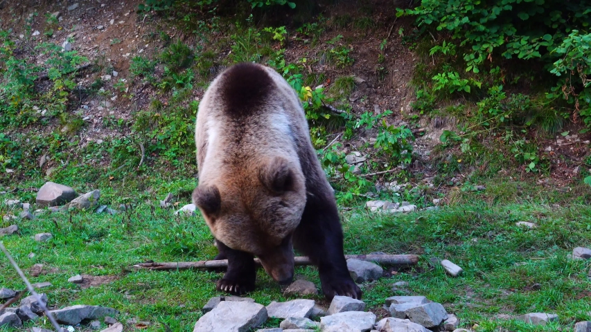 A bear is looking for food among the stones.   Shutterstock HD Video #1041460918