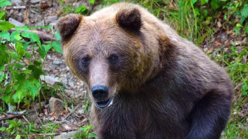 The dissatisfied bear leaves the frame.   Shutterstock HD Video #1041461128
