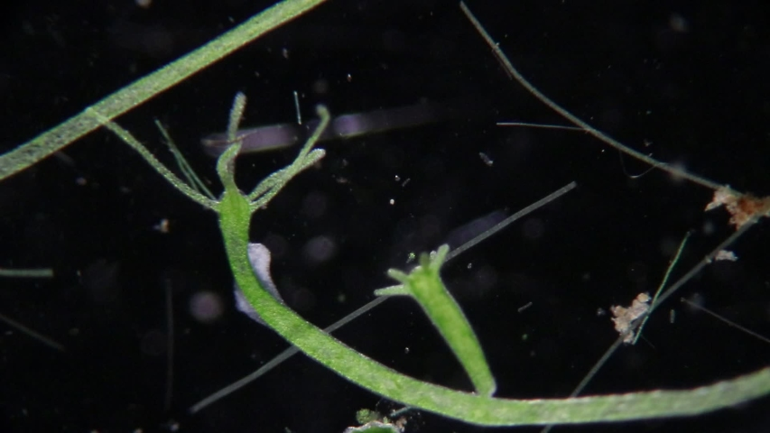 Hydra is a genus of small, fresh-water animals of the phylum Cnidaria and class Hydrozoa under the microscope for education.    Shutterstock HD Video #1042297078