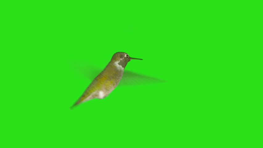 Real Humming Bird with Alpha Channel Matte mask in 4K | Shutterstock HD Video #1042386688