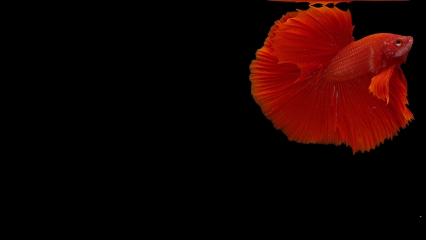 Slow motion of Siamese fighting fish (Betta splendens), well known name is Plakat Thai, Betta is a species in the gourami family, which is a popular fish in the aquarium trade | Shutterstock HD Video #1043422168