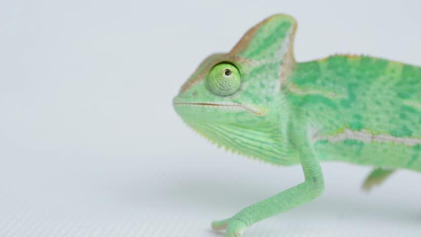 funny baby green chameleon on white background