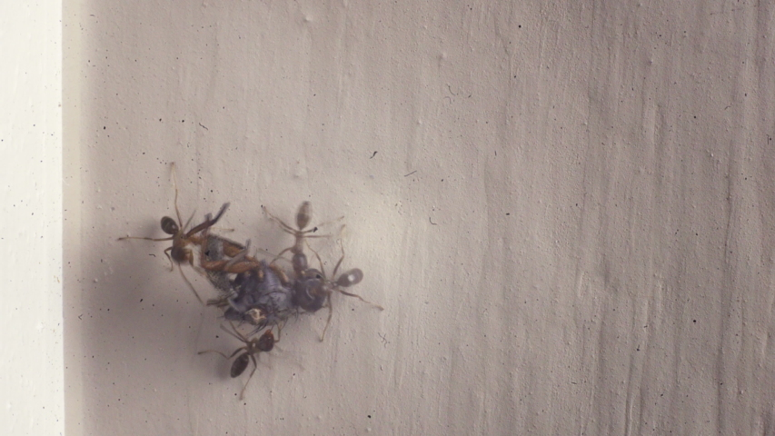 Macro view of ants working together to carry a dead fly carcass back to their nest. | Shutterstock HD Video #1044996598