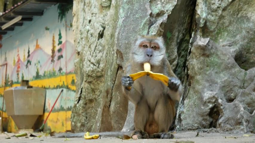 A wild macaque monkey eating a banana in the Batu Caves near Kuala Lumpur, Malaysia. | Shutterstock HD Video #1045870768