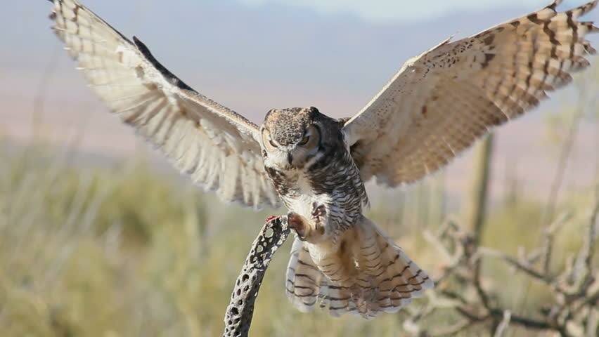 Great Horned owl, wings extended, lands on branch of dead cholla cactus, eats treat, flies away. 1080p