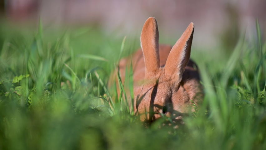 Close up of a cute rabbit sitting and nibbling fresh grass. rabbit on green grass | Shutterstock HD Video #1046772898