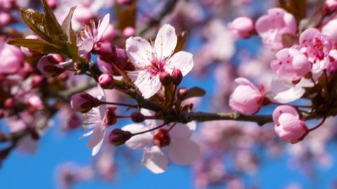 Kwanzan Cherry Tree Stock Video Footage 4k And Hd Video Clips