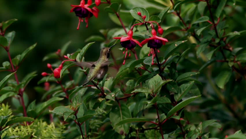 Annas Hummingbird Gathering Nectar from Fuchsia Flowers Close View  Super Slow Motion | Shutterstock HD Video #10489598