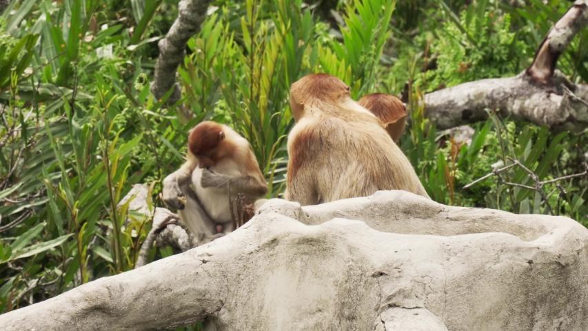 Proboscis Monkey group in Labuk Bay, Sabah, Borneo, Malaysia. A long nosed monkey endangered (Nasalis larvatus) in the jungles. | Shutterstock HD Video #1049665408