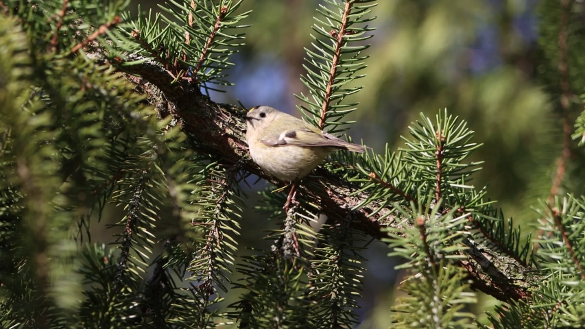 Goldcrest rides among the green branches of spruce | Shutterstock HD Video #1049874838